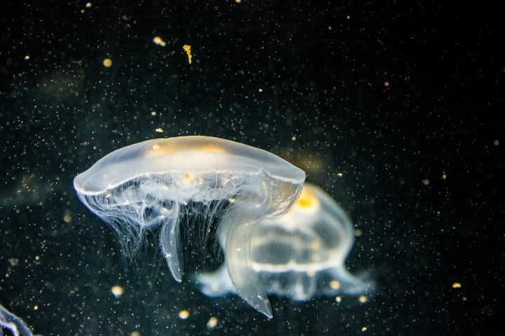 Medusas. Foto: Matthias Götzke