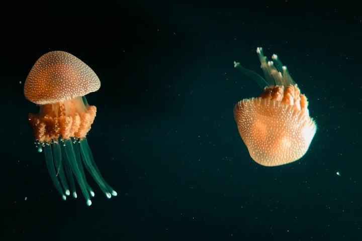 Medusas. Foto: Tusik Only