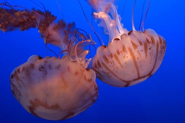 Medusas. Foto: Kevin Lanceplaine