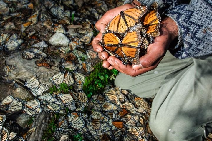 La mariposas monarca llegan todos los otoños y El Souvenir te lleva a conocerlas. Foto: Sean Fitzgerald