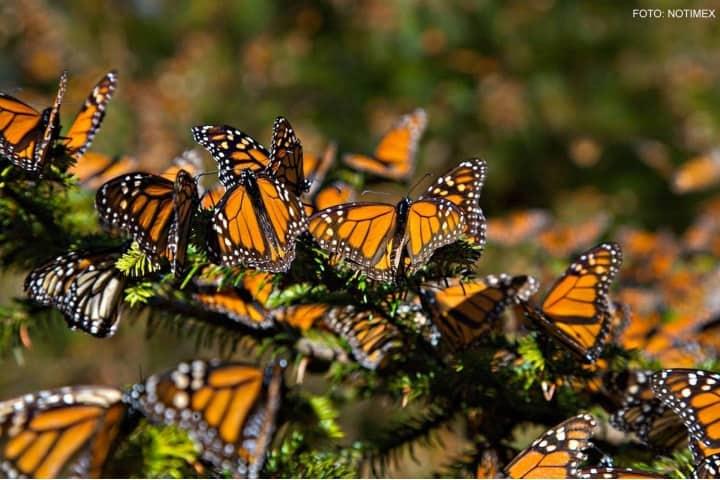 mariposas monarca (2)