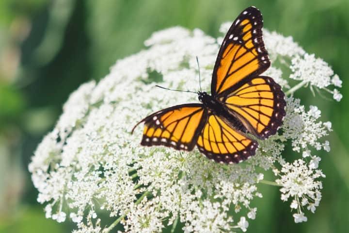 mariposa monarca (3)