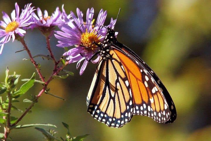 mariposas(4)