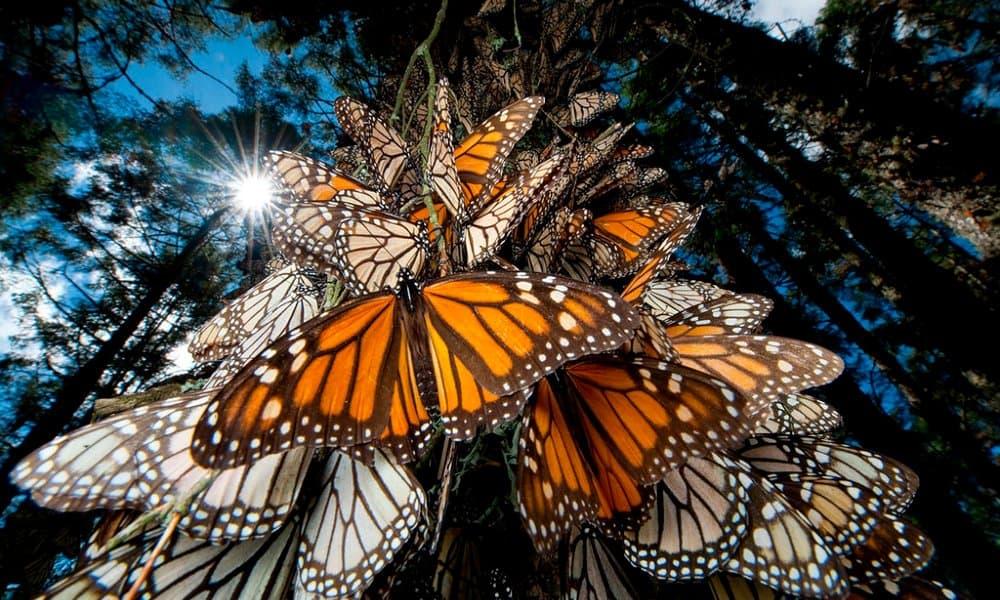 mariposa monarca (5)