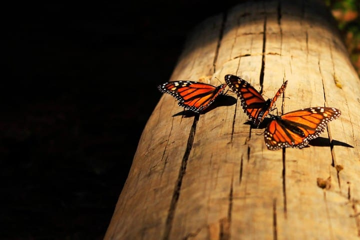 mariposa monarca (6)