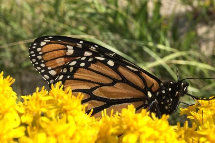 mariposa monarca (7)