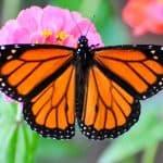 mariposa monarca (8)