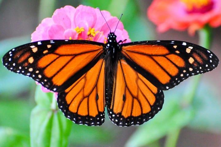 Mariposa Monarca. Foto: Peter Miller