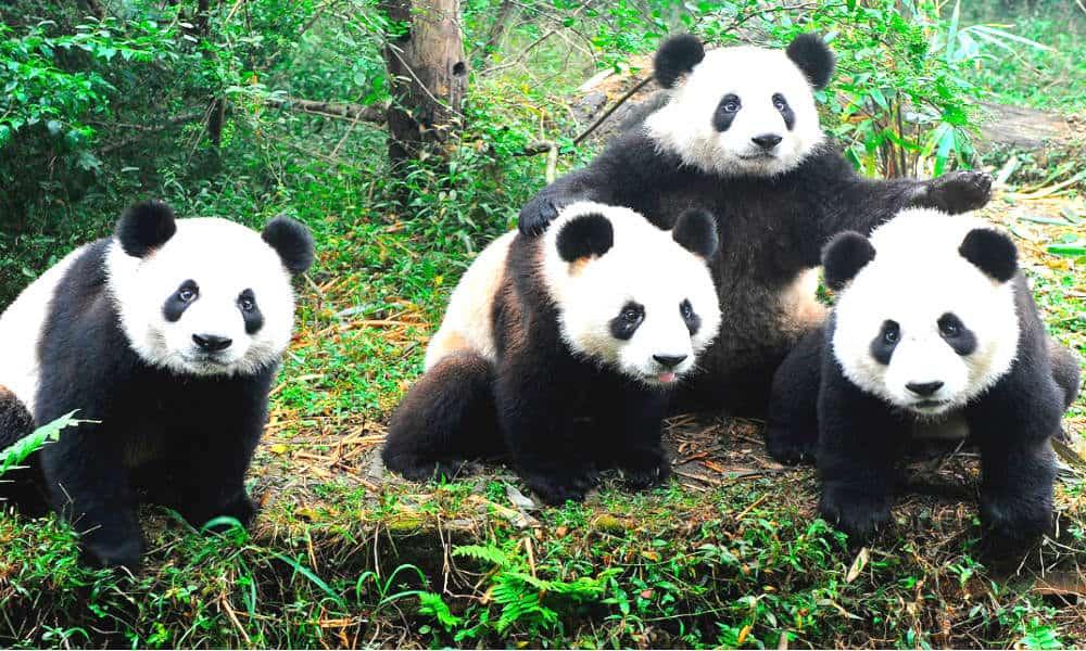 fotos-osos-panda anipedia