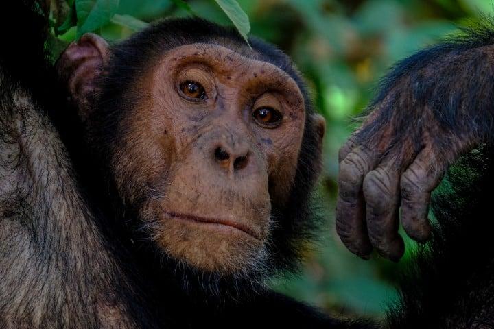 Chimpancé. Foto: Francesco Ungaro