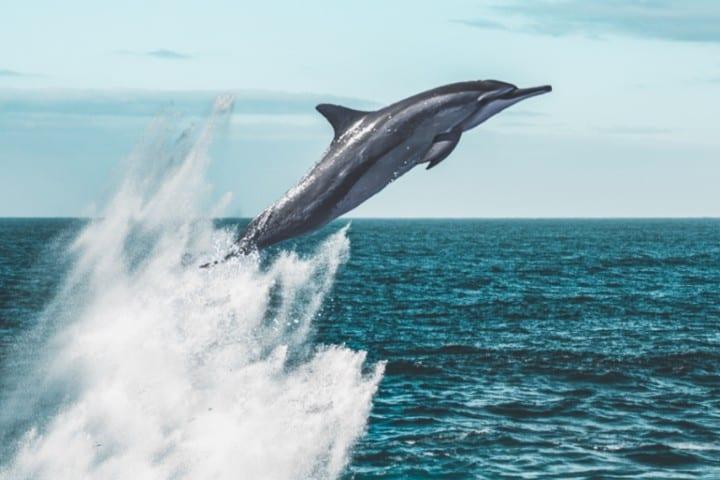 Delfin. Foto: Pagie Page