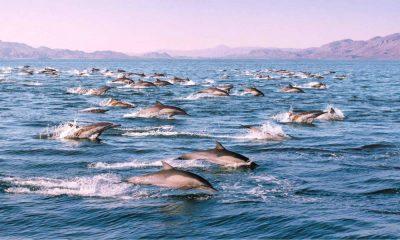 Delfines en el Mar de Cortés Foto Intriper