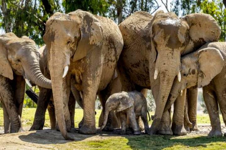 Elefantes del Zoológico de San Diego hermosos paquidermos Foto Vive USA