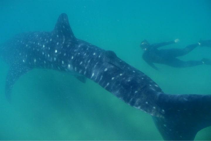 Nadar con tiburones Foto Archivo 5