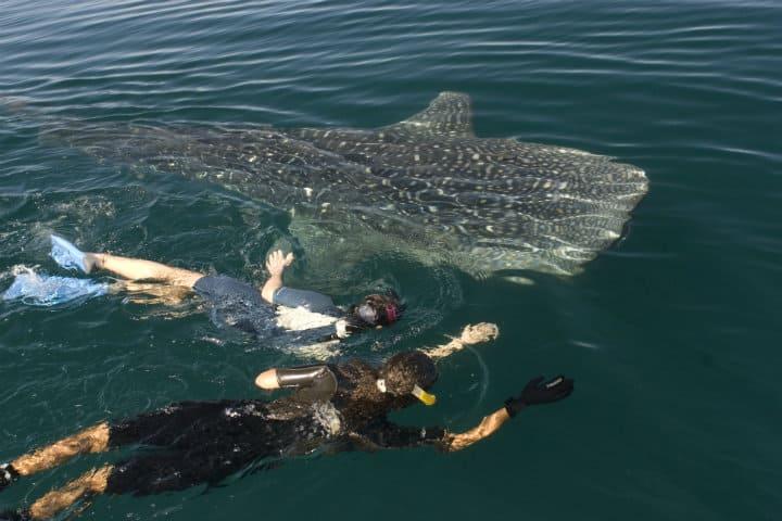 Nado con tiburón ballena Foto: Claude Voguel
