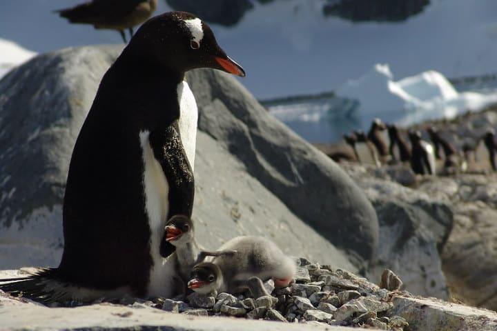 Pingüinos en la Antártica Foto Horacio Lyon
