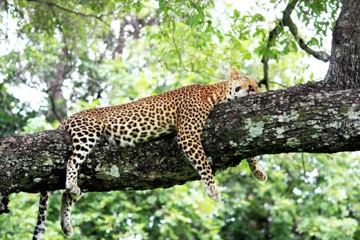 Zambia Jaguar. Foto: Henning Borgersen