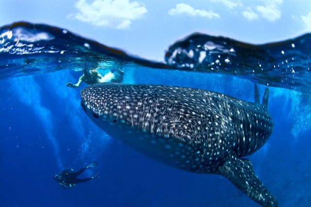 tiburon ballena 08