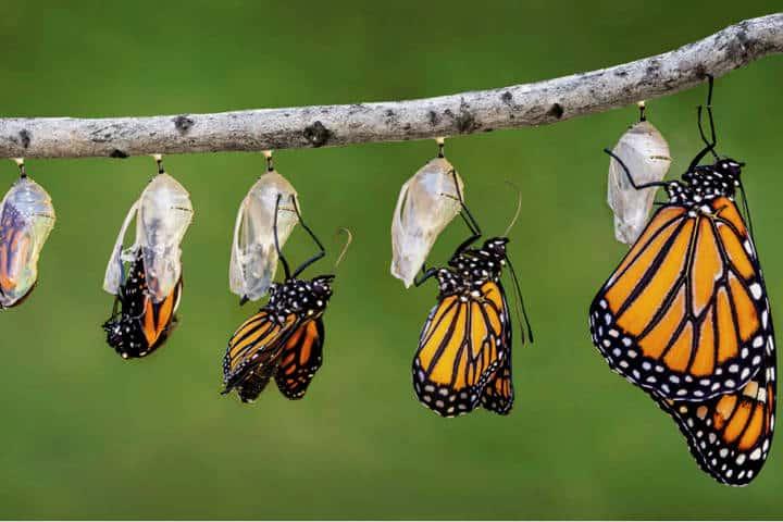 Evolución Monarca. Foto 10ciclo.