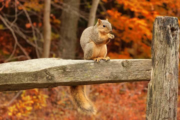 Ardilla cola peluda en otoño. Foto Archivo 6