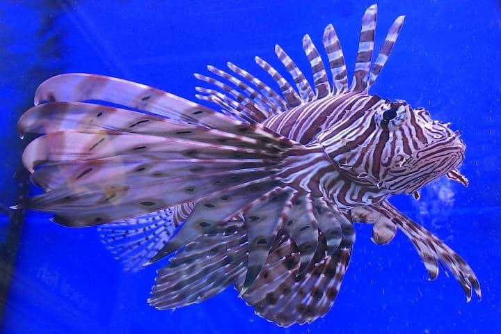Caza del pez león Foto Milesl