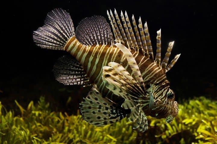 Caza del pez león Foto Skitterphoto