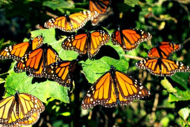 Áreas protegidas, Migración de la Mariposa Monarca. Foto Contralínea.