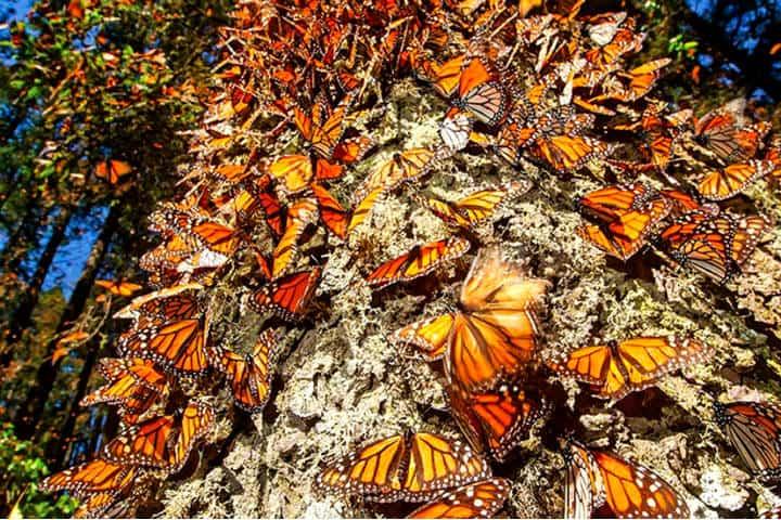 Monarcas en México. Foto El Democrata.