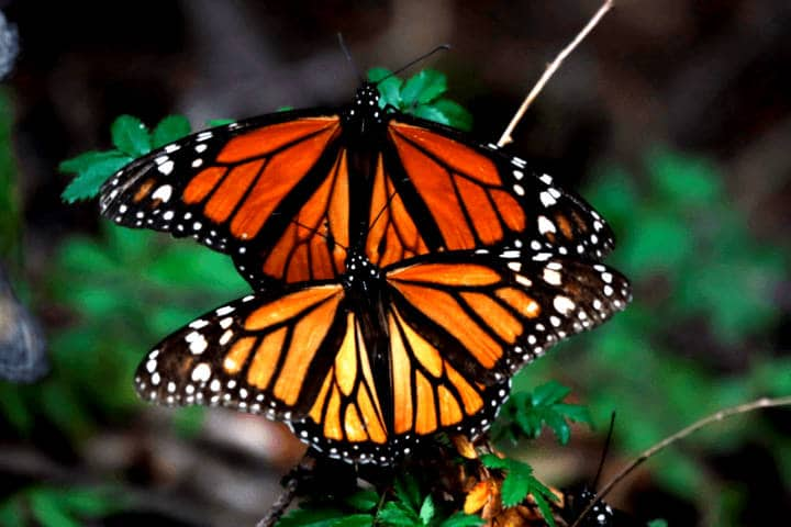 Mariposas. Foto Expreso de la Mañana