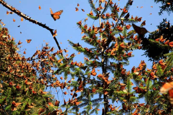 Árboles de Oyamel. Foto Global Media.
