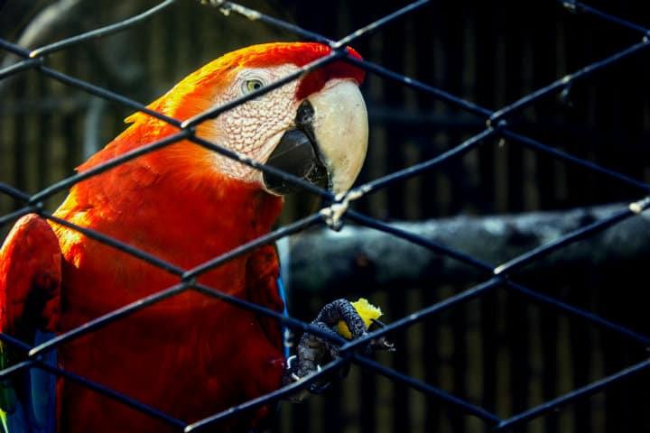 Guacamaya en cautiverio.Foto.Ricbravo96.10