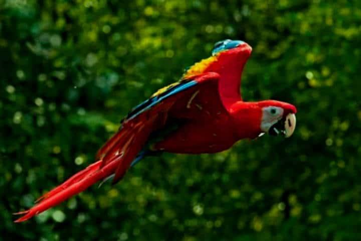 Guacamaya en vuelo.Reserva Montes Azules.Chiapas.Foto.Noticaribe.5