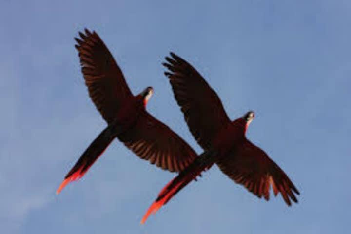 Guacamayas en vuelo.Chiapas.Foto.Conanp.9