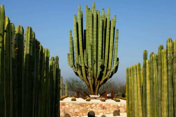 Cactus en jardines de México. Foto Jardines de México.