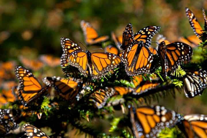 Migración de la mariposa monarca. Foto La Saga.
