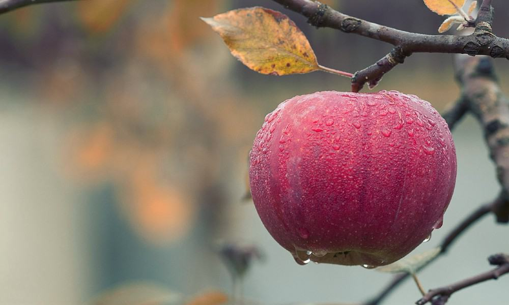 Manzanas de Chihuahua Foto mploscar