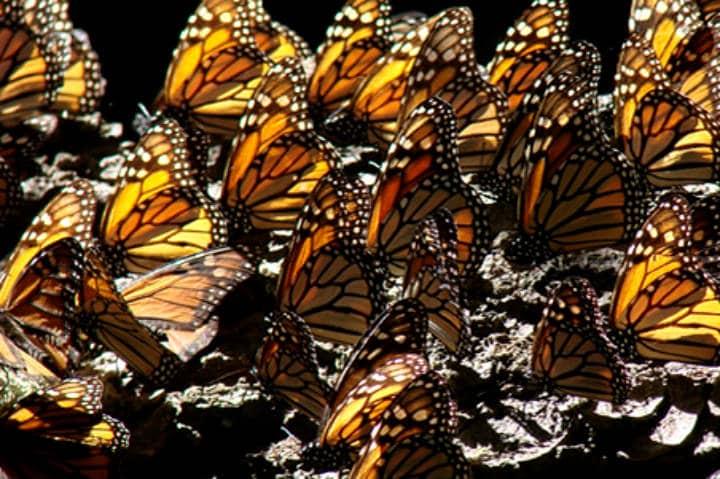 Migración de la Mariposa Monarca. Foto Mariposa Monarca Conabio.