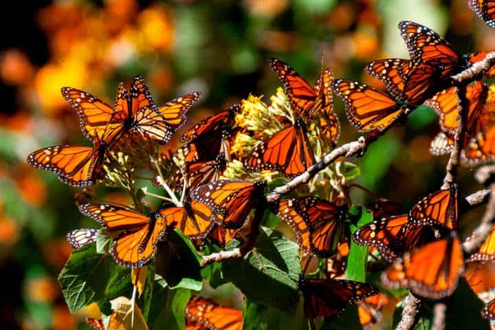 Migración de la mariposa monarca. Foto Michoacán en concreto.