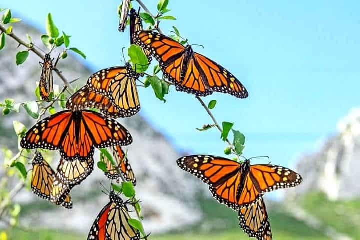 Monarcas migración. Foto Noticias de Zitácuaro y la Región Oriente de Michoacán.