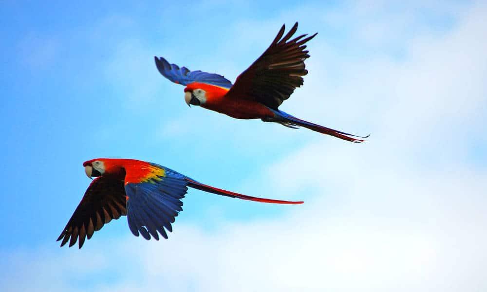 Portada.Guacamayas en vuelo.Reserva Montes Azules.Chiapas.Foto.Carl Swain