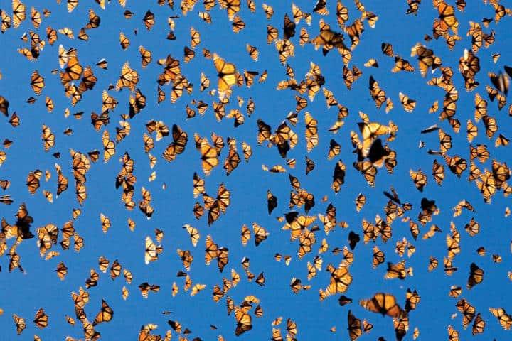 Migración de las Mariposas Monarca. Foto Rancho Mágico.