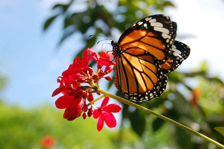 Alimentación de las monarca. Foto Renovables Verdes.