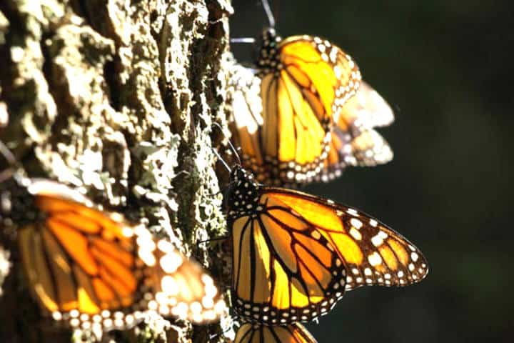 México monarca. Foto Scientific American.