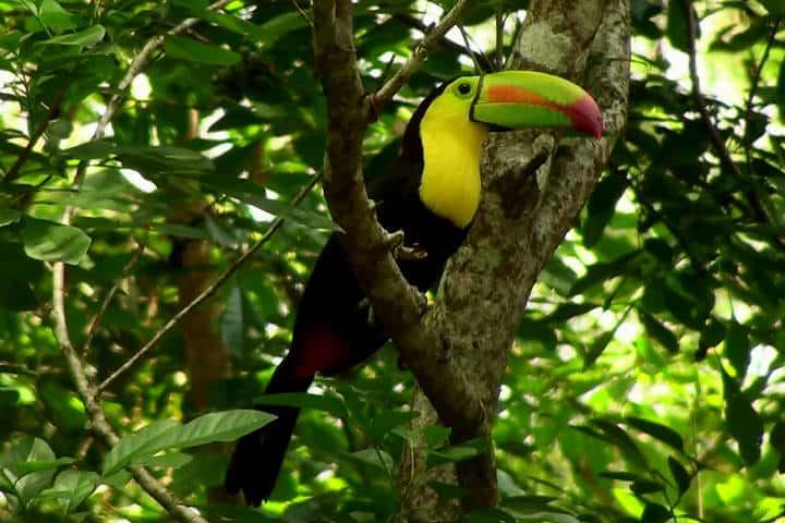 Tucan. Selva Lacandona. Chiapas. Foto. Las Guacamayas Ecolodge, Selva Lacandona. 10