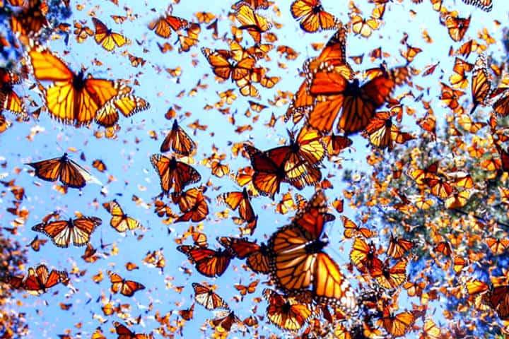 Mariposa monarca. Foto Universidad Autónoma de Nuevo León.