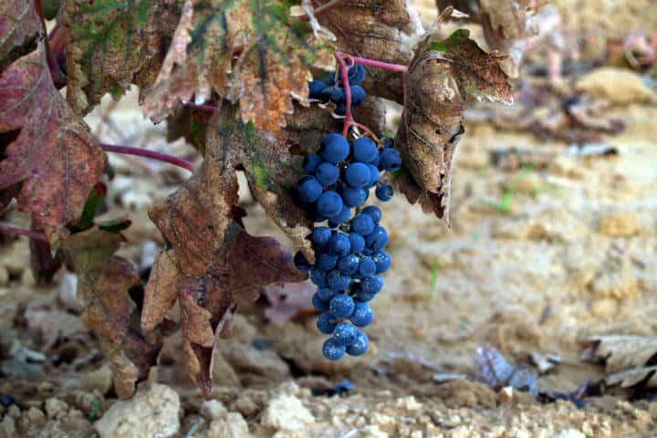 Uva tinta en Viñedo de la Toscana Italiana. Foto Archivo 3