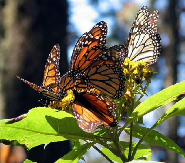 monarca01