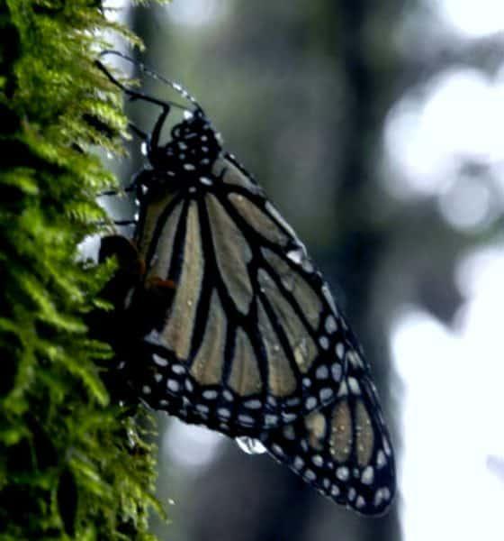 monarca02