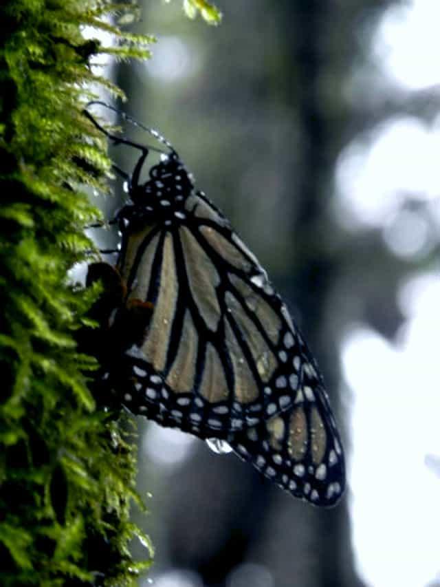 El Extraordinario fenómeno de la Mariposa Monarca | El Souvenir
