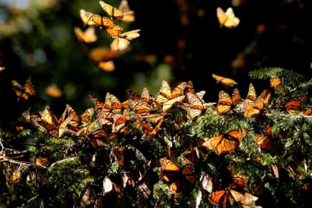 Migración de la Mariposa Monarca. Foto Archivo.